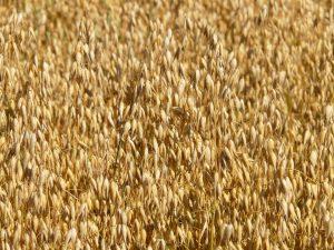 Auch Haferpollen von Haferfeldern können zu allergischen Symptomen führen.