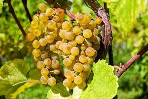 Weintrauben können zu einer Weintraubenallergie führen.