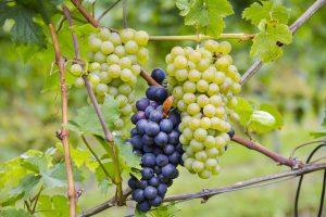 Sowohl rote als auch weiße Weintrauben können frisch und getrocknete zu Beschwerden führen.