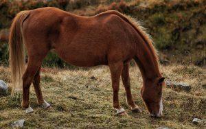 Allergien bei Pferden könne durch das Futter oder giftige Pflanzen ausgelöst werden.