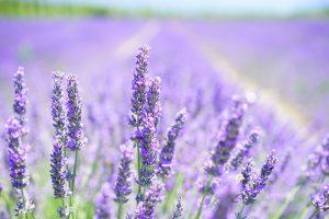 Wohlduftende Lavendel-Blüten, auf Englisch lavender blossom, können zu einer Lavendelallergie führen.