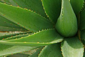 Die Aloe-Vera kann zu einer Aloe-Vera-Allergie führen.