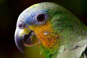 Papageien können eine Vogelallergie auslösen.