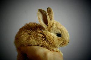 Kaninchen werden gern als niedliche Haustiere gehalten.