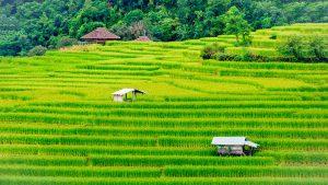Reis wird auf Reisfeldern in Asien und Afrika angebaut.