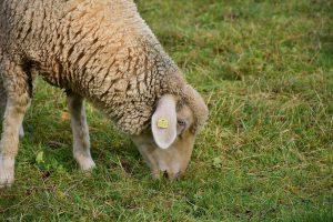 Bei der Wollallergie kann unbehandelte Tierwolle zu Beschwerden führen.