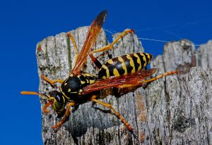 Bei einem Allergiker kann der Stich einer Wespe durch eine Wespenallergie sehr gefährlich werden.
