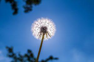 Bei einer Pollenallergie sollten die Pollen zu ihren Hauptflugzeiten gemieden werden.