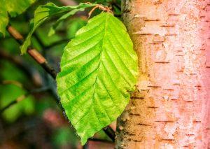 Die Anzahl der Birkenpollen steigt mit den Jahren, zu dem werden sie aggressiver.