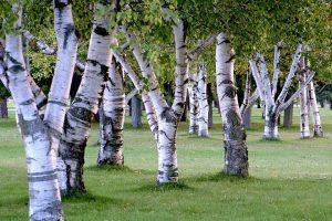 Die Birkenpollen können auch zu Kreuzallergien führen.
