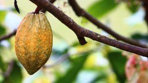 Die Kakaobohne kann den Blutdruck senken und auf das Nervensystem stimulierend wirken.