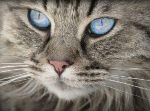 Rund 80 % der Katzenbisse führen zu Infektionen.