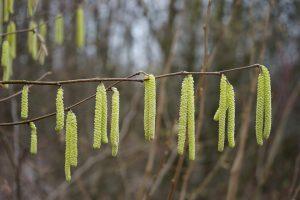Die Flugzeiten der Pollen, wie der der Hasel, verlängern sich im Laufe der Jahre.