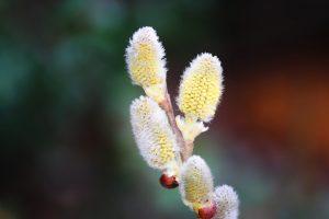 """Immer mehr Menschen erkranken an Allergien wie dem Heuschnupfen die durch Pollen ausgelöst werden können wie von Erle, Birke, Hasel, Weidekätzchen (auf englisch """"willow catkin""""."""