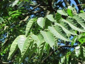 Der Götterbaum ist für Allergiker ungeeignet.