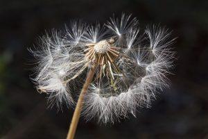 Häufig lösen Blütenpollen Allergien aus.