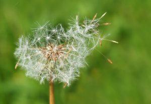 Der Pollenflug verlängert sich immer mehr.