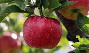 Bei Kreuzallergien können Äpfel zu Symptomen führen.