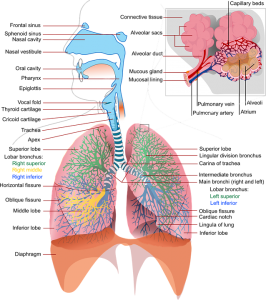 Bei den Atemwegen unterscheidet man die oberen und die unteren.