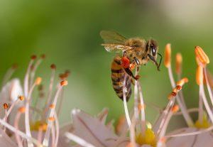 Wird man von einer Biene gestochen so bleibt der Stachel noch meist in der Hautstecken und pumpt weiter gift in die Einstichstelle.