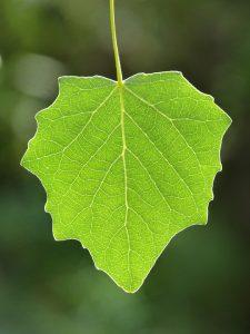 Die typische Form eines Pappelblattes.
