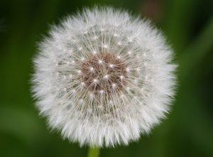 Neben Pollen (wie von Löwenzahn (Taraxacum) und andere Korbblüter (Asteraceae)) gibt es weitere Auslöser für Allergien wie Lebensmittel, Tierhaare, Milben usw.