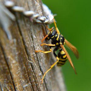 Wespen reagieren aggressiver als Bienen und sind sie so für Allergiker gefährlicher.