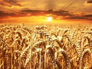 Bei einer Glutenunverträglichkeit gilt es Weizen und Produkte die Weizen enthalten zu meiden.