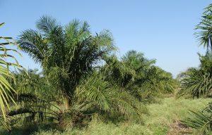 Palmöl-Allergie