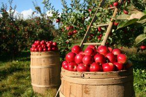 Obstbäume sind für Allergiker von Vorteil, da sie durch Insekten und nicht durch Pollen bestäubt werden.