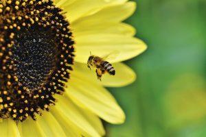 Was man bei einer Bienenstichallergie beachten sollte.