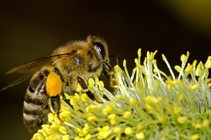 Besonders im Frühjahr sind Bienen vermehrt auf Pollensuche nach ihrem Winterschlaf.
